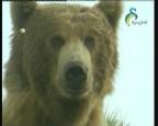 انواع الدببة  (كوكب الروائع)
