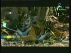 نمور الغابة (جمال الحياة البرية)