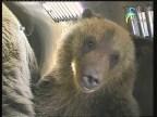 الحلقة 1 (الدب الأشيب)