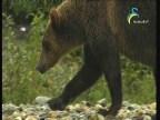 الدب الرمادي(عالم الافتراس)