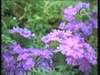 فيربينيا(نباتات الزينة)