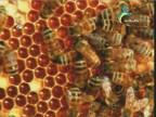 مأزق النحل(الأرض الآن)