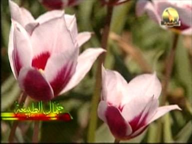 زهرة التوليب (جمال الطبيعة)
