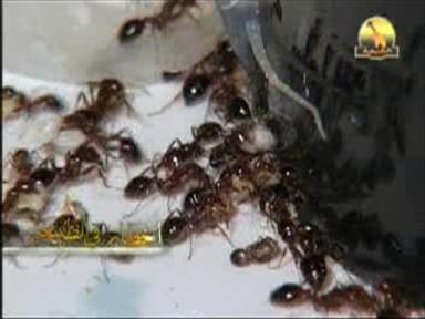 النمل الناري (أخطار في الطبيعة)