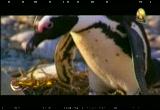 طيور البطريق الافريقية (إعجاز في الطبيعة)