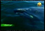 8- الحوت الأبيض (أروع المحميات)