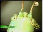 1- صراصير الليل الأخضر (عالم الكائنات الصغيرة)