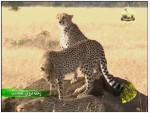13- الفهد وشبح الانقراض (رحلة تروي العجائب)