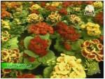 2- عالم الأزهار (النباتات الأسترالية)