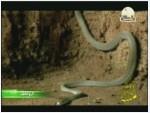 2- الأفاعي (الزواحف)