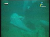 قريبا من المرجان(عالم الحيتان)