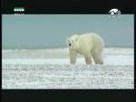 الدب القطبي(الحدود البيضاء)