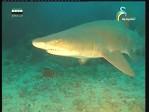 القرش ذو الأسنان الخشنة(الشعب الزرقاء)