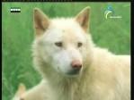 الحلقة الاولي(كلاب أفريق البرية)