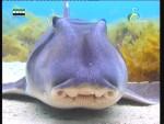 القرش العملاق النائم(الشعب الزرقاء)