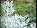 الكنثيا (نباتات الزينة)