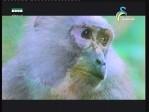 أرض القرد الأحمر(الحياة البرية في آسيا)