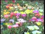 دراسينا فراجرانت(نباتات الزينة)