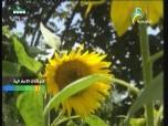 فيتونيا(نباتات الزينة)
