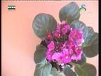 امرالص(نباتات الزينة)
