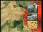 زهرة الأداليا(أزهار وحكايات)