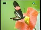 زهرة الأقحوانة (أزهار وحكايات)
