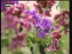 زهرة الثالوث(أزهار وحكايات)