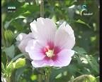 زهرة الليلك( أزهار و حكايات)