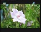 زهرة الياسمين البر(~أزهار وحكايات)