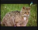 القط البري (الثديات خفايا و أسرار)