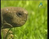 التمساح (شركاء في البرية)