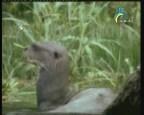 إضغط لمشاهدة ''ثعلب الماء  (عالم الحيوان الغامض) ''
