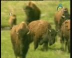 إضغط لمشاهدة ''ثيران البيسون  (عالم الحيوان الغامض) ''