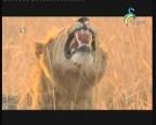إضغط لمشاهدة ''الغزال  (شركاء في البرية) ''