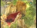 إضغط لمشاهدة ''حيوانات صيادة (روائع أمريكاالشمالية) ''
