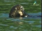 إضغط لمشاهدة ''ثعلب الماء 2 (البراري الكندية) ''