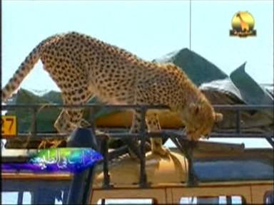 إضغط لمشاهدة ''الفهود (غرائب في الطبيعة) ''