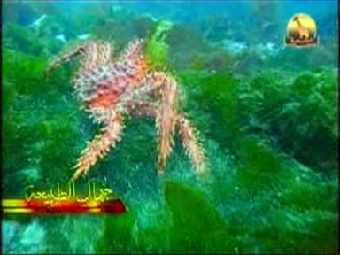 إضغط لمشاهدة ''العنكبوت البحري (جمال الطبيعة) ''
