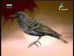 إضغط لمشاهدة ''طيور الأوأو(منقرضات معاصرة) ''