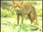إضغط لمشاهدة ''لغة الذئب(البراري الكندية) ''
