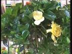 إضغط لمشاهدة ''جاردينيا (نباتات الزينة) ''