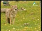 إضغط لمشاهدة ''حيوانات صياده(روائع أمريكا الشمالية) ''