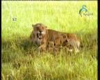 إضغط لمشاهدة ''النمر السيبيري المخادع 4 (من براري الشرق) ''