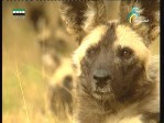 كلاب أفريقيا البرية
